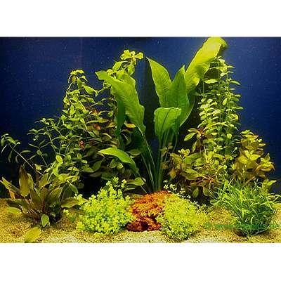 Aquariaplanten Assortiment voor 80 cm Aquaria