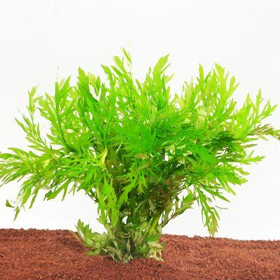 Aquariumplanten Zooplants Gezelschapsaquarium