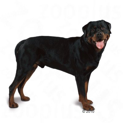 Royal Canin Breed Rottweiler Adult - Croquettes pour chien