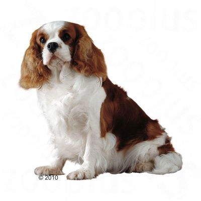 Royal Canin Cavalier King Charles Dog Food