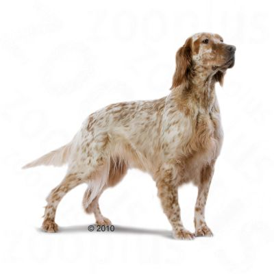 Royal canin setter adult pienso para perros - Pienso para perros de caza ...